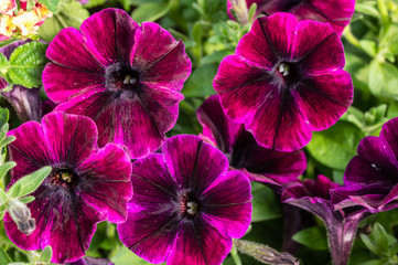 Purple petunia flowers with stripes