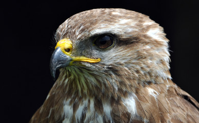 Detailed view of the bird's head - falcon