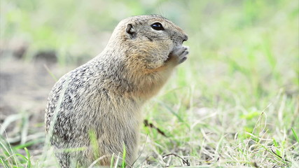 Ground squirrel eating