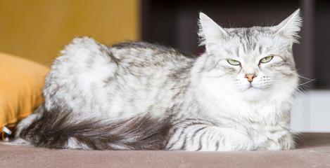 silver cat of siberian breed, livestock  cat