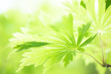 Grünes Ahorn Blatt