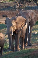 Elefanti africani in carovana