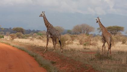 Coppia di giraffe africane