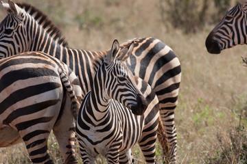 Piccolo di zebra con la famiglia