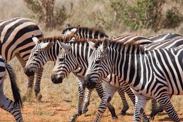 Zebre di corsa