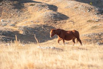 Cavallo libero all'alba, pascolo di montagna