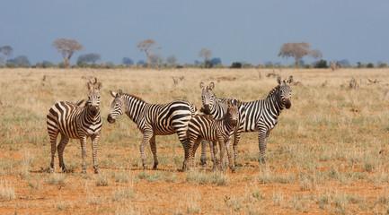 Tsavo zebre nela riserva
