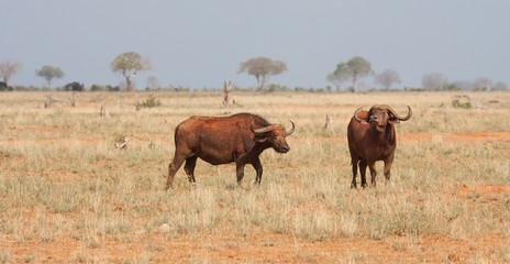 Bufali nel parco