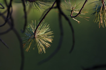 Pine Tree Branch in the Morning Light