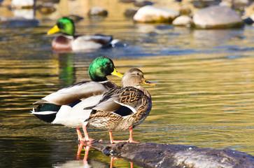 Pair of Mallard Ducks Resting in an Autumn Pond
