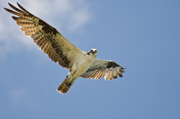 Osprey Making Eye Contact While Flying in Blue Sky