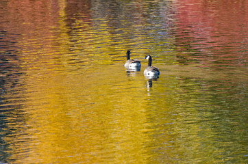 Canada Geese on an Autumn Golden Pond