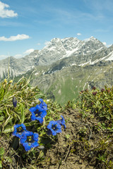 Alpenblumen - Enzian