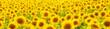 Obrazy na płótnie, fototapety, zdjęcia, fotoobrazy drukowane : Sunflowers
