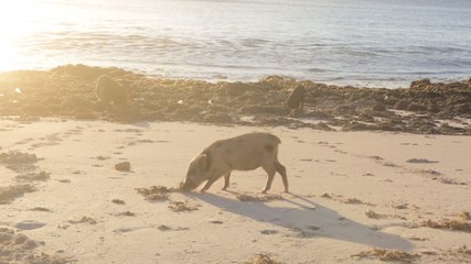 Piglets foraging for food on beach