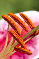 Amaryllis stamens or pistils closeup