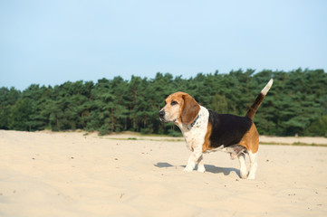Beagle outdoor