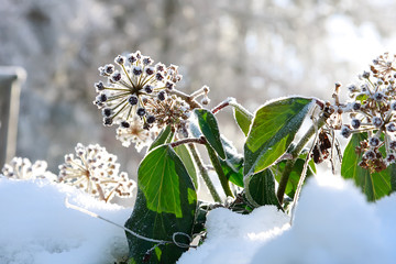 Ivy in frost