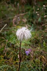 Seedhead of Pulsatilla alpina ssp. alba
