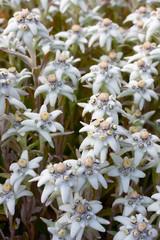 Edelweiss. Leontopodium alpinium