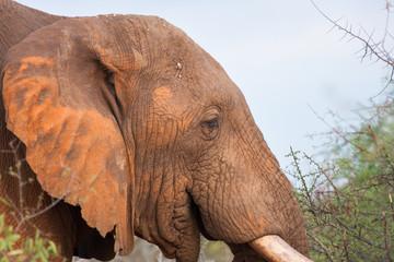 Maschio di elefante africano