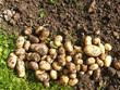 Kartoffelernte im Bioanbau