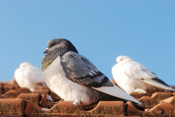 three grey pigeon sitting on the old street roof