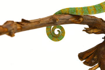 tail of a chameleon