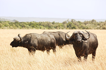 Cape Buffalo on the Masai Mara in Africa