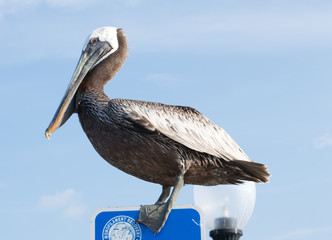 Pelican in Southport, North Carolina