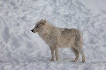 Wolf at still