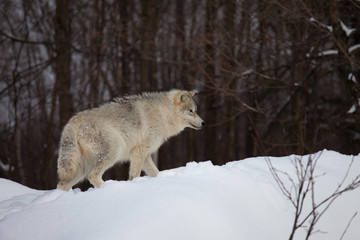 Wolf wandering