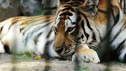 2 clips: Amur tiger resting at the Zoo