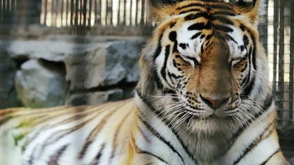 Portrait of the Amur tiger resting