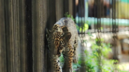 Jaguar cub walking along the cage