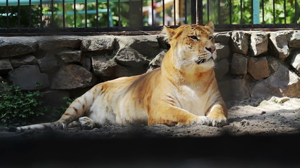 Portrait liger carefully looking