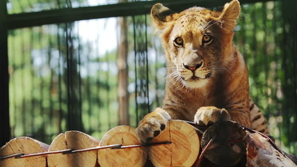 Portrait of cute baby liger resting