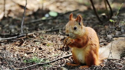 Portrait of a red squirrel eating nuts