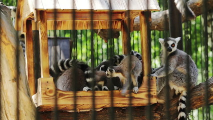 Group lemur sitting in a zoo