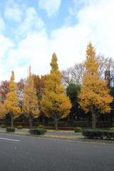 Ginkgo trees in autumn at Tokyo Japan
