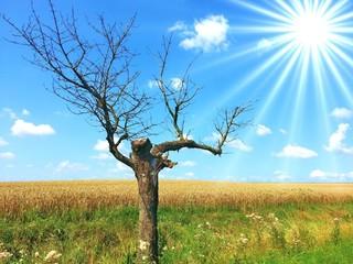 alter Baum am Feldrand im Sonnenschein