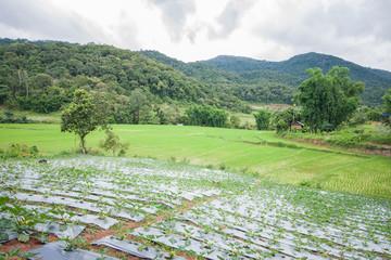 Beautiful green rice field terrace in thailand.