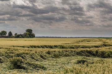 Getreidefeld bei Sturm