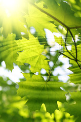 Branch of green maple with water ripples and sunlight