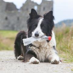Border collie sheepdog waiting