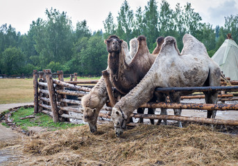 Two-humped camels. Nomad camp