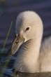 Envol d'un cygne tuberculé sur les étang de la Bassée e, Baie