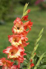 Цветок Гладиолус