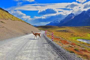 Sleek local guanaco crosses gravel road