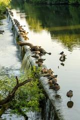 Gaense bei Sonnenlicht am Fluss
